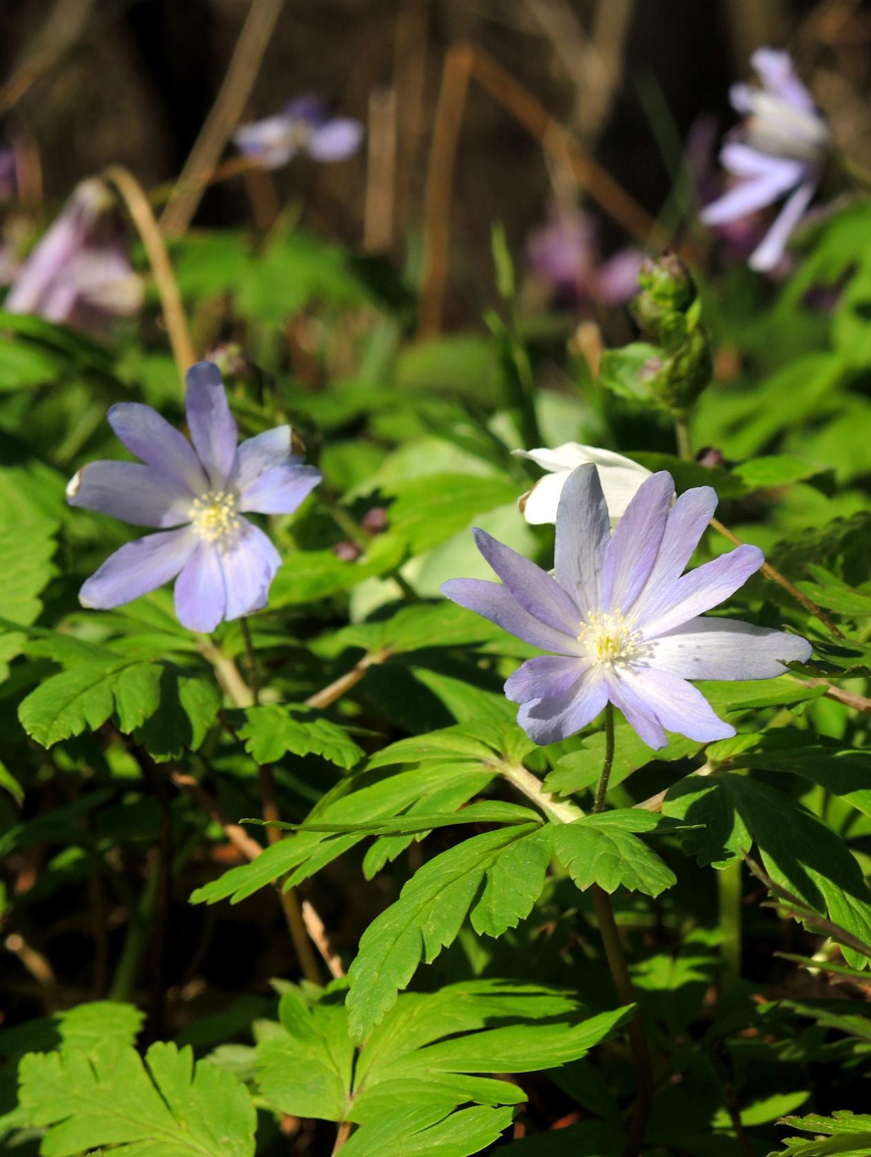 キクザキイチゲ(薄紫)