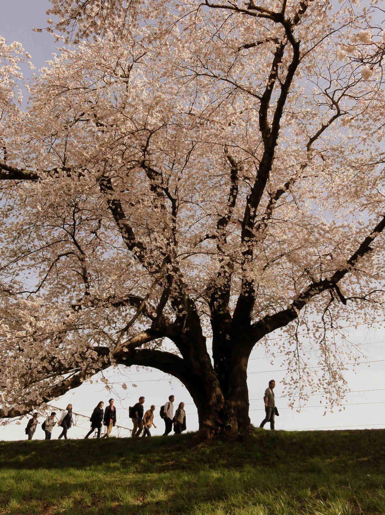 白石川堤の一目千本桜2