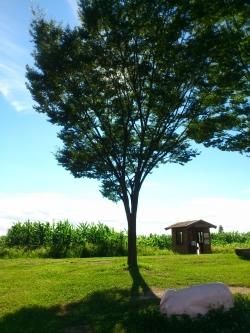 夏 トウモロコシ畑