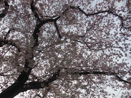 20160406sakura.jpg