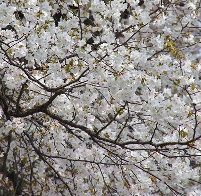 20160416山桜