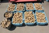 ジャガイモ収穫2