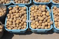 ジャガイモ収穫3