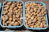 ジャガイモ収穫4