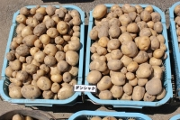 ジャガイモ収穫5