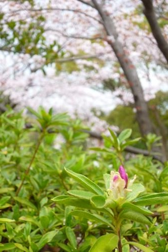 河西公園   2016 4月3日(mt.okuho)