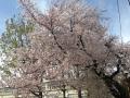 桜2016