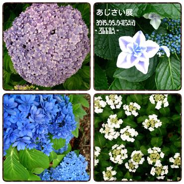 USJ & 季節の花「紫陽花」を見に4