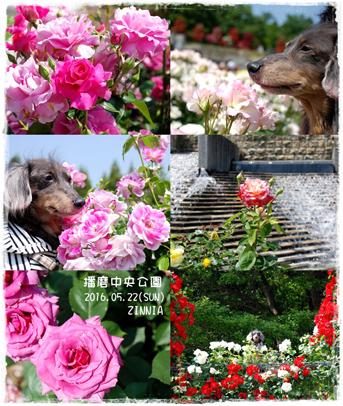 季節の花「バラ」を見に5