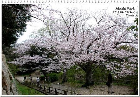 *お花見* 2016⑤