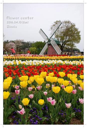 季節の花「チューリップ」を見に①