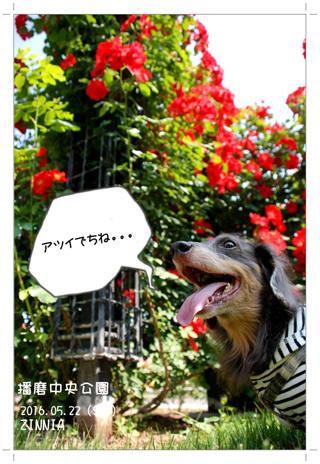 季節の花「バラ」を見に3