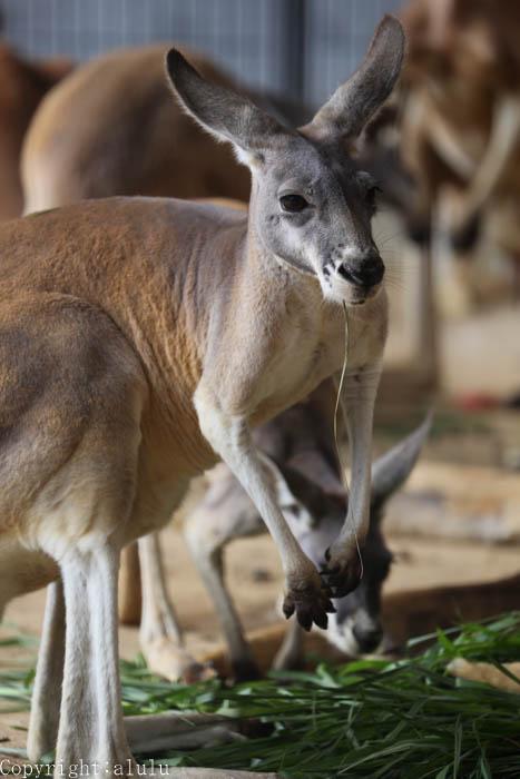 王子動物園 アカカンガルー