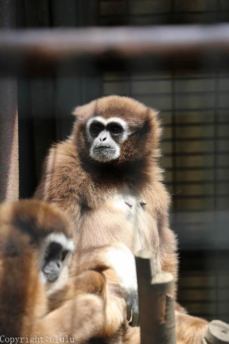 羽村市動物園 シロテテナガザル
