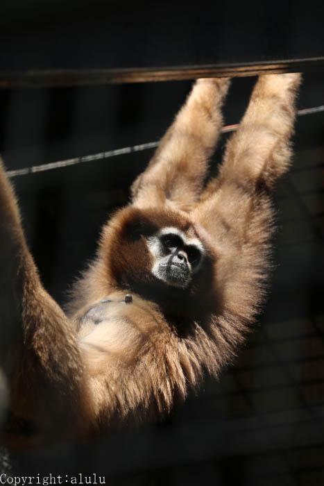 シロテテナガザル 動物園 動物写真