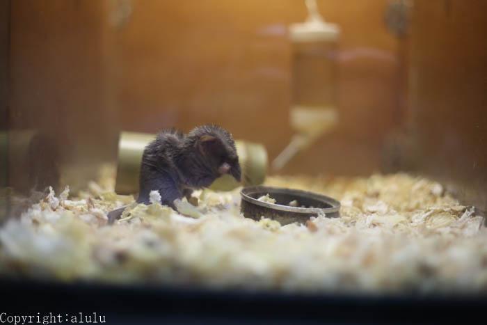 ジャコウネズミ 動物写真