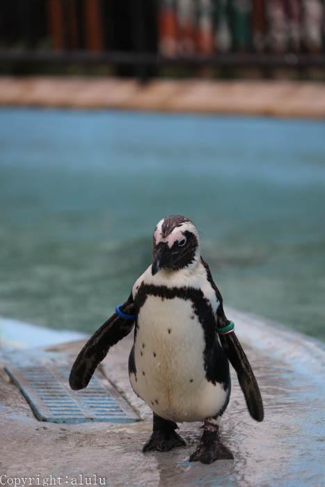 上野動物園 ケープペンギン 画像