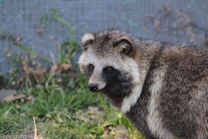 ホンドタヌキ 動物園 動物写真
