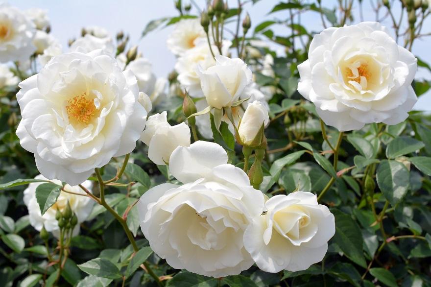 長居植物園のバラ (0)
