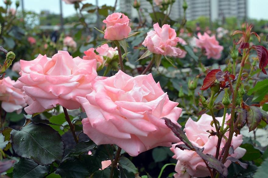 長居植物園のバラ (1)