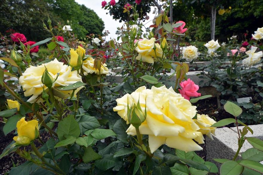 長居植物園のバラ (2)