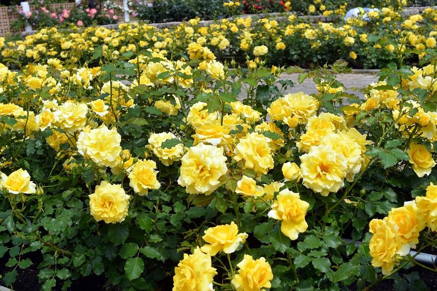 長居植物園のバラ (3)