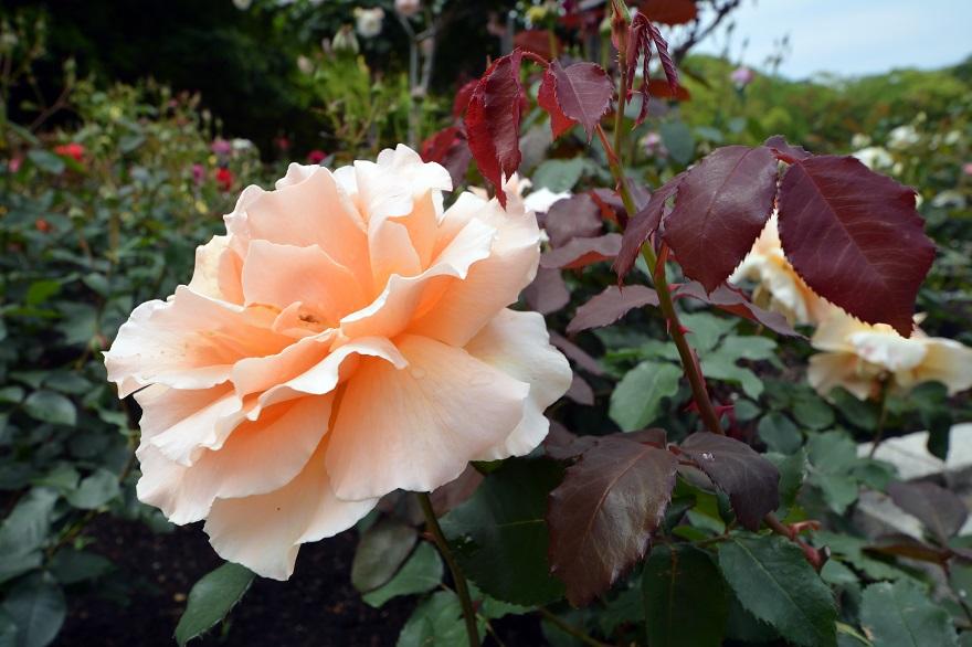 長居植物園のバラ (4)