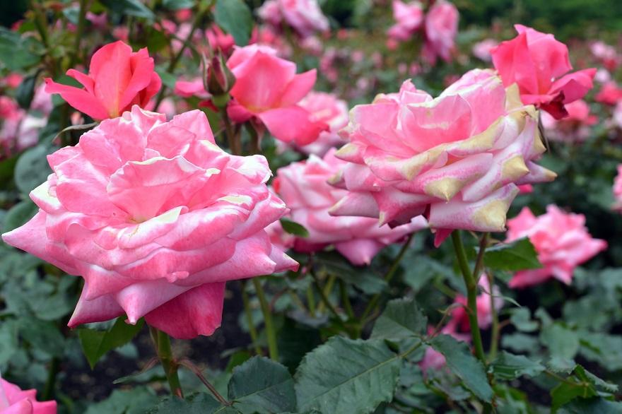 長居植物園のバラ (6)