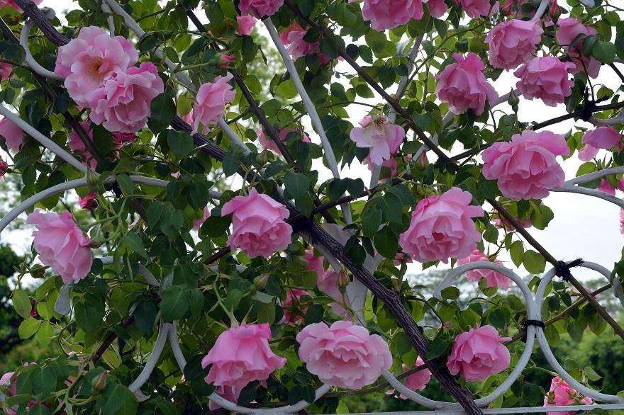 長居植物園のバラ (7)