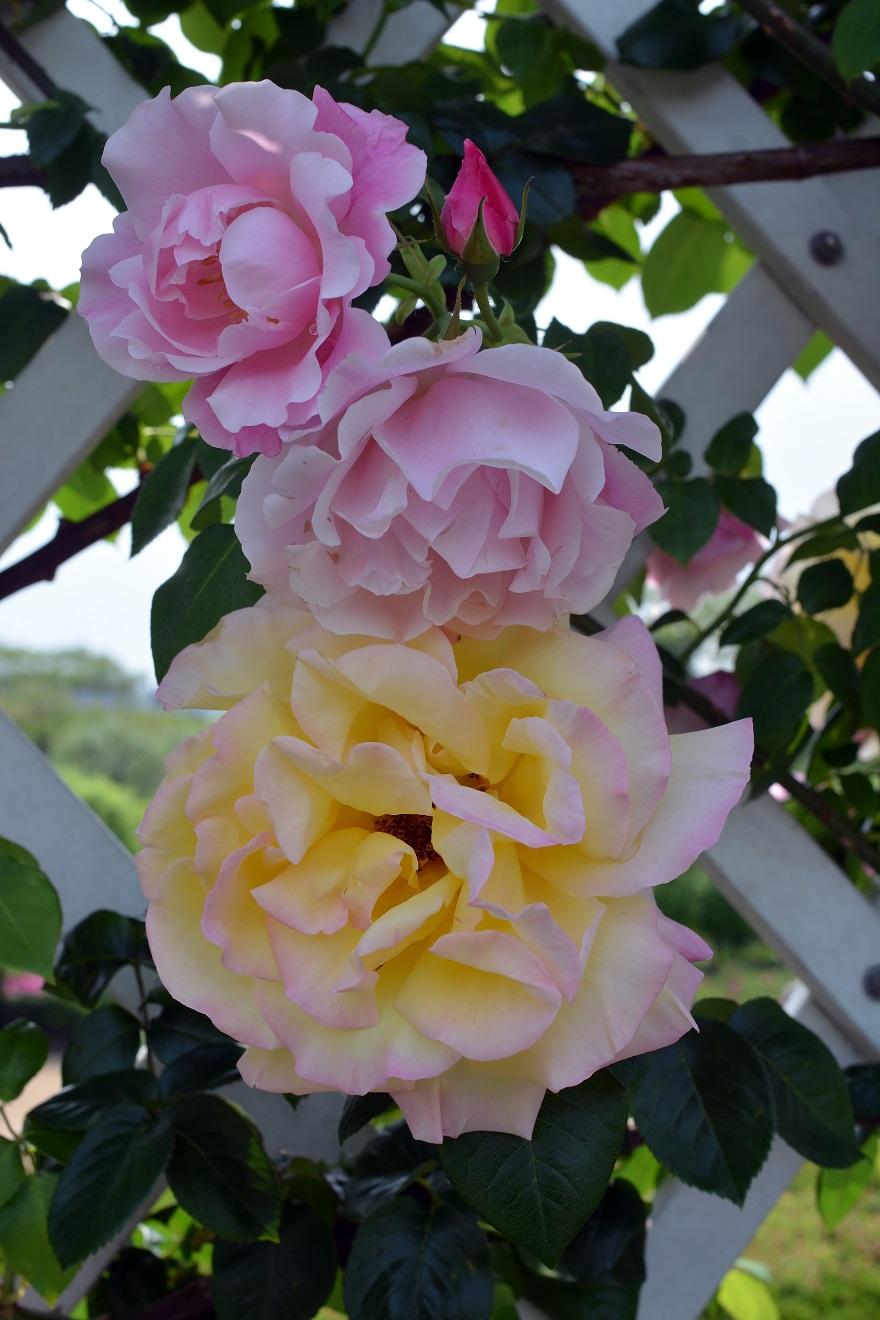 長居植物園のバラ (8)