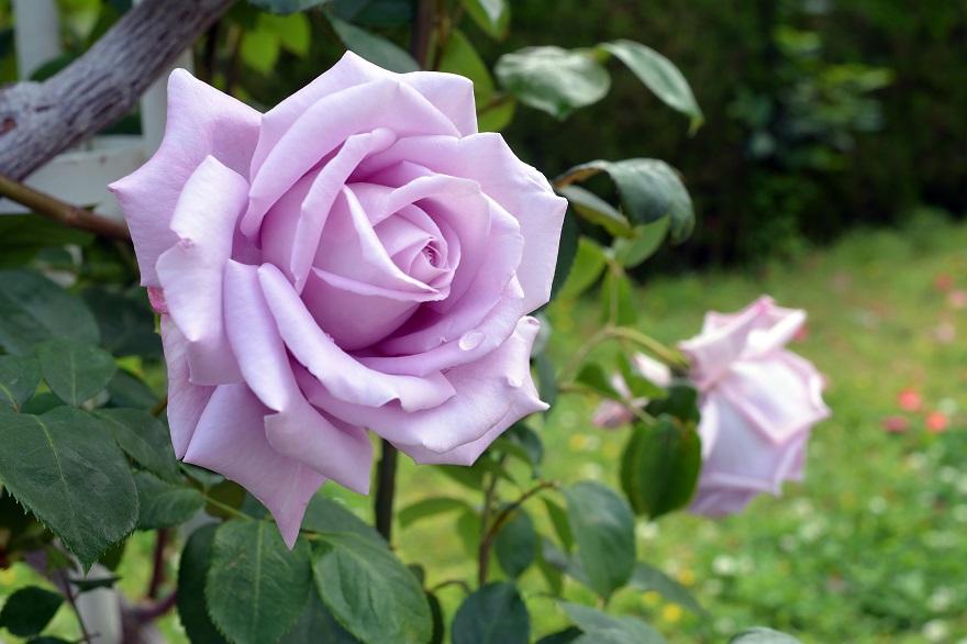 長居植物園のバラ (9)