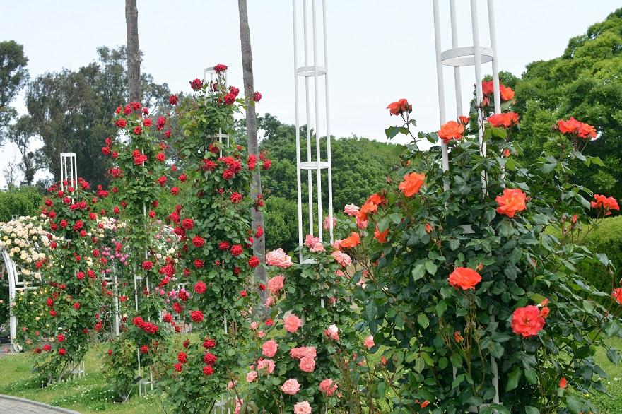 長居植物園のバラ (10)