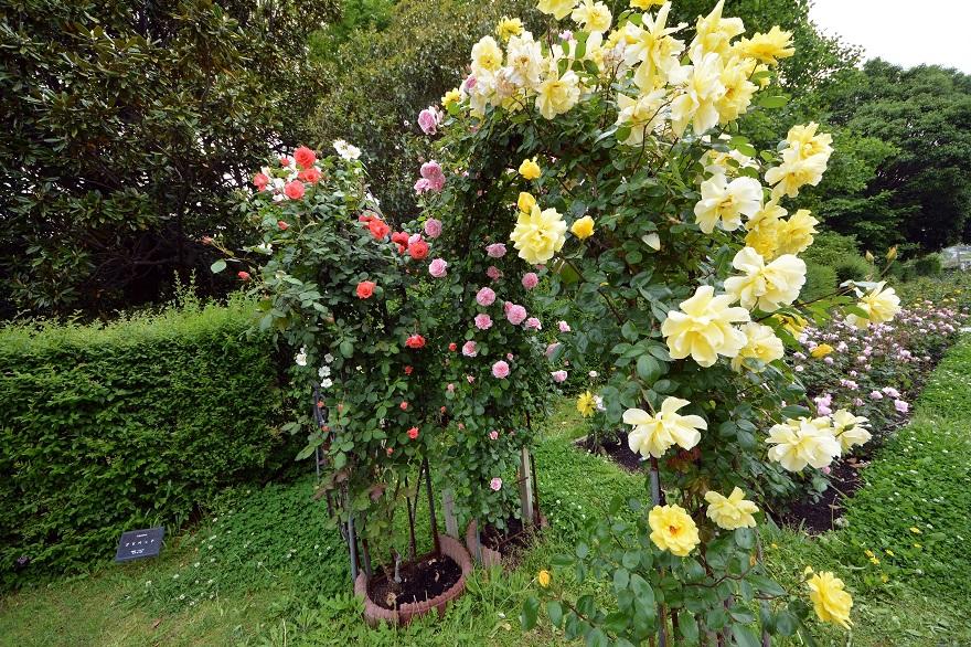 長居植物園のバラ (11)