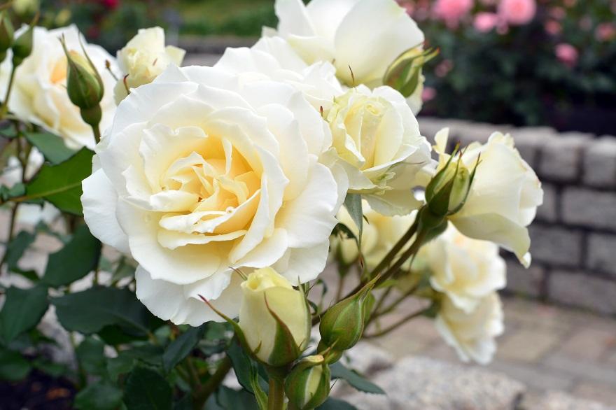 長居植物園のバラ (13)