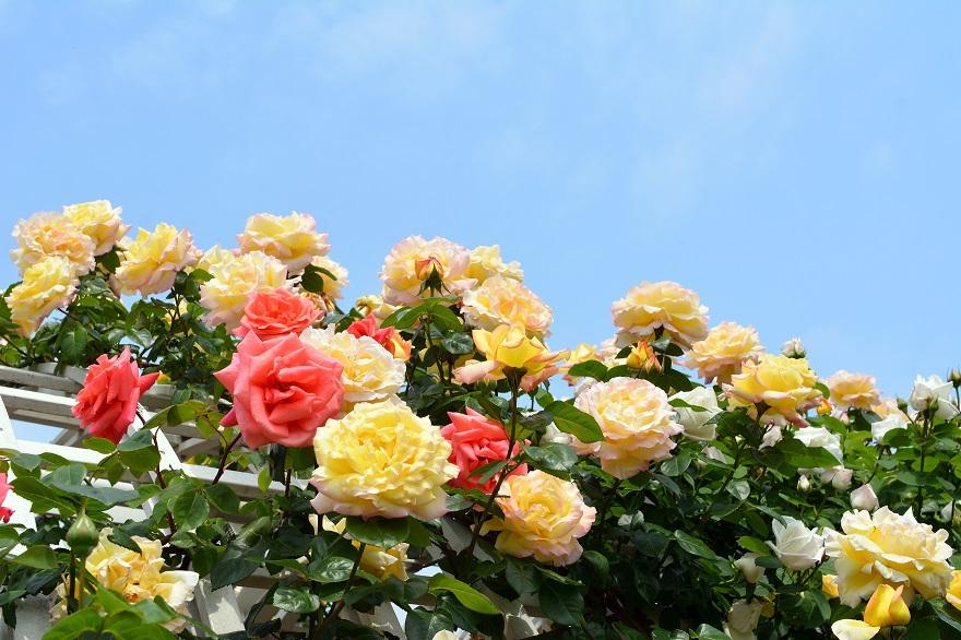 長居植物園のバラ (12)