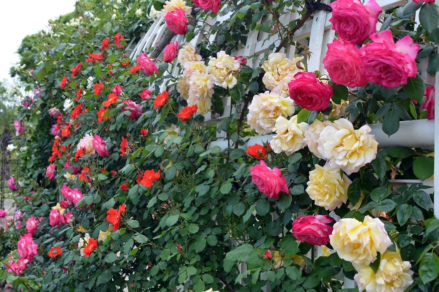 長居植物園のバラ (15)