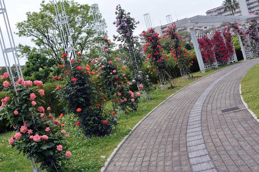 長居植物園のバラ (17)