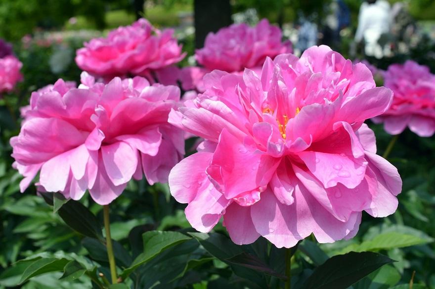 長居植物園のバラ (19)