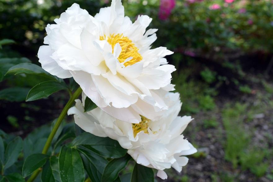 長居植物園のバラ (20)