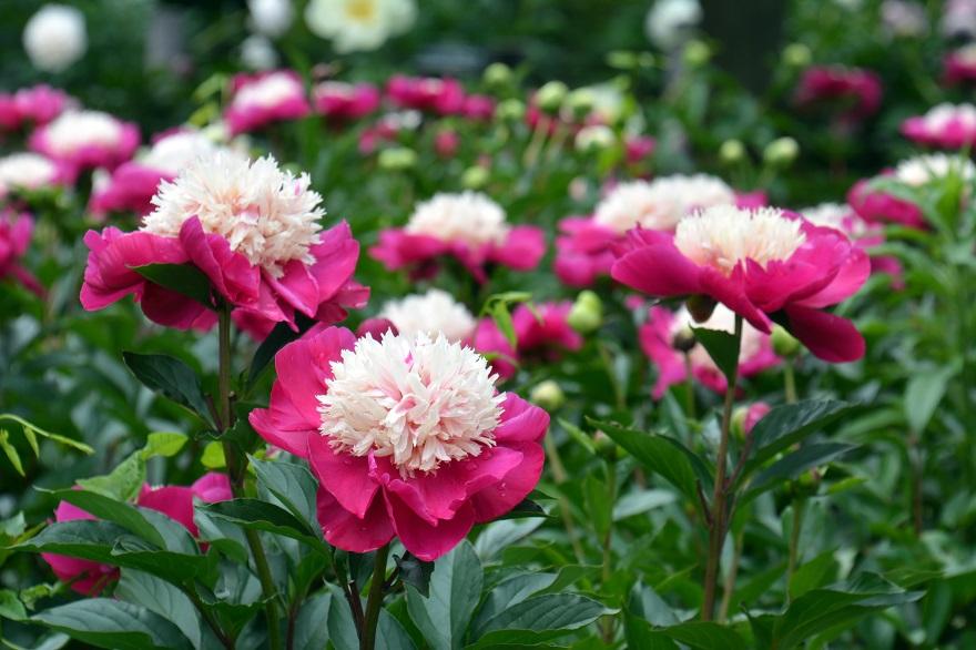 長居植物園のバラ (21)