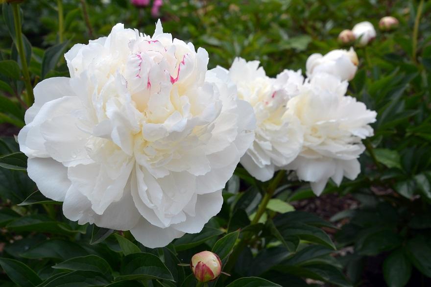 長居植物園のバラ (23)
