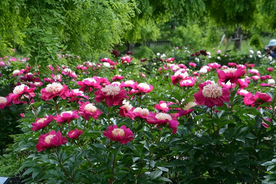 長居植物園のバラ (22)