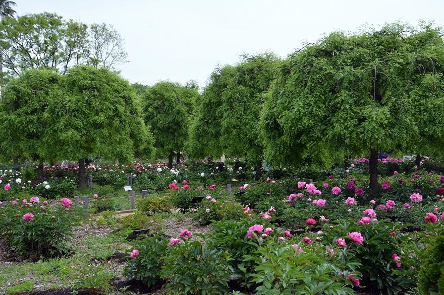 長居植物園のバラ (25)