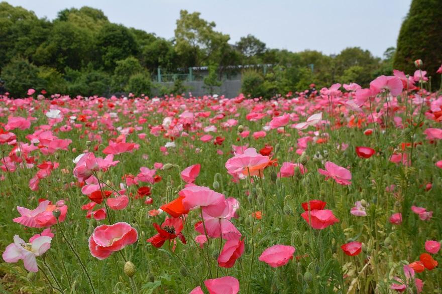 長居植物園のバラ (26)