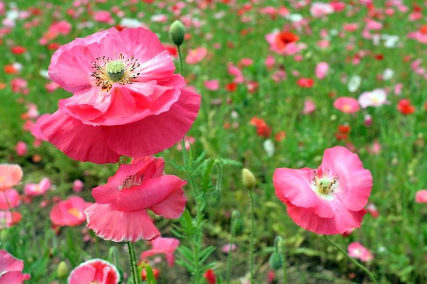 長居植物園のバラ (27)