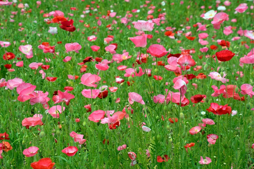 長居植物園のバラ (28)