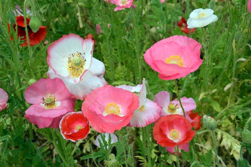 長居植物園のバラ (29)