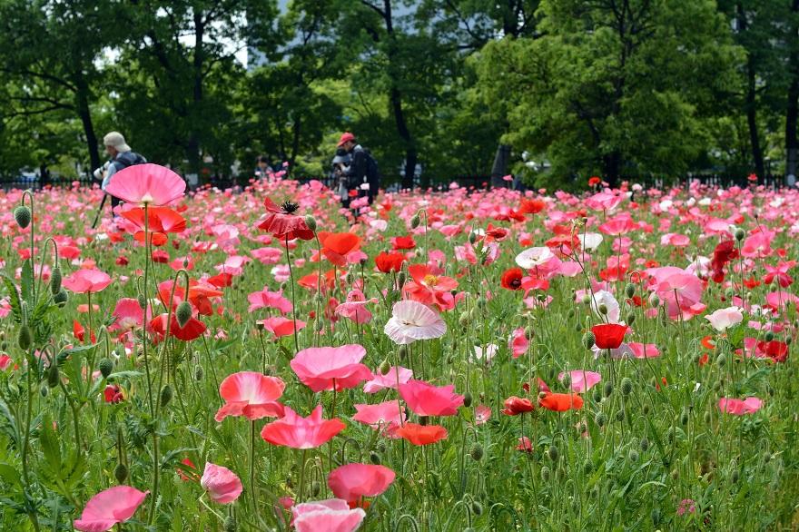 長居植物園のバラ (030)
