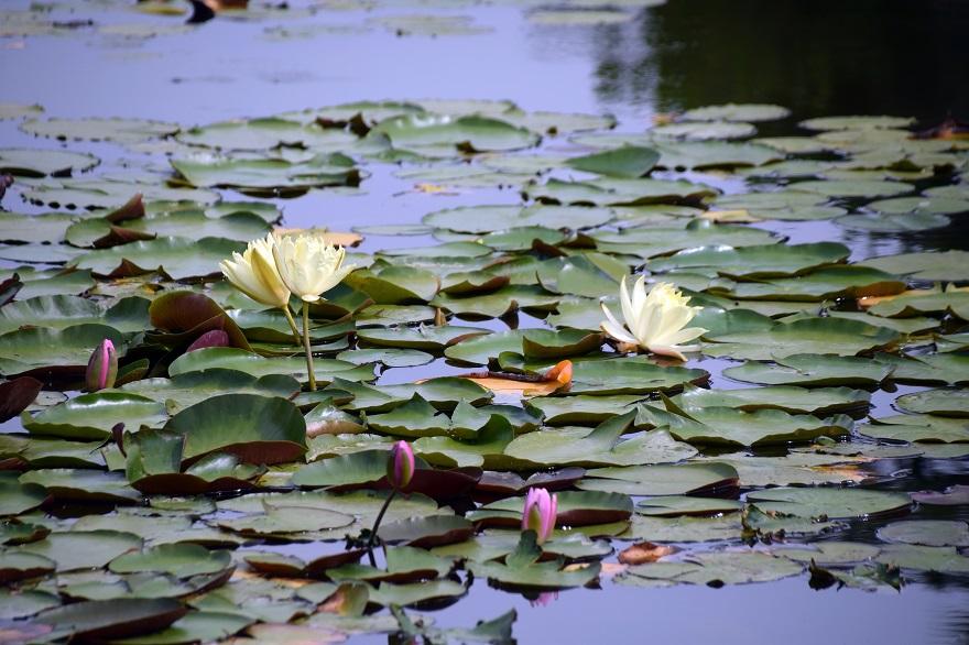 初夏の長居植物園 (8)