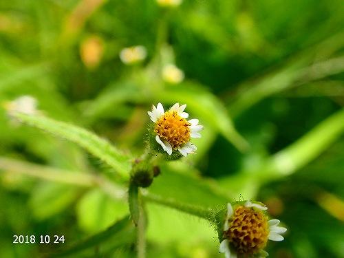 s-黄色の花20181024